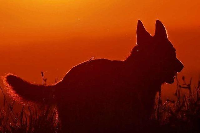 Seit Jahren tötet ein Hund in Malsburg-Marzell immer wieder Rehe