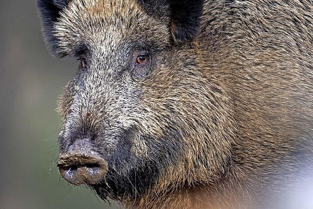 Fotos entlarven Wildschweine als Orchideenräuber