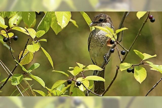 Friedlicher Vogel mit brutalem Namen