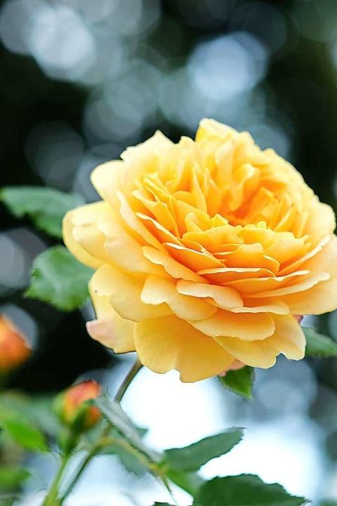 Jede Rose ein Kunstwerk    Foto: Birgit-Cathrin Duval