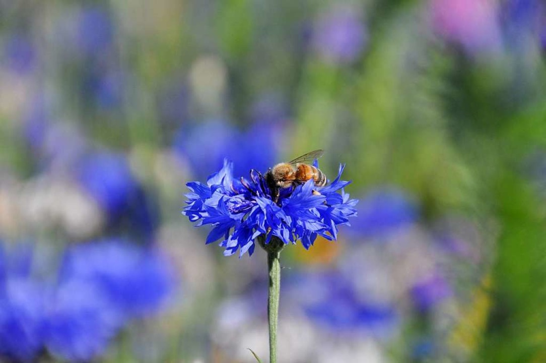 Bienen tummeln sich zuhauf zwischen de...r Insektenweide am Fahrnauer Friedhof.  | Foto: Nicolai Kapitz