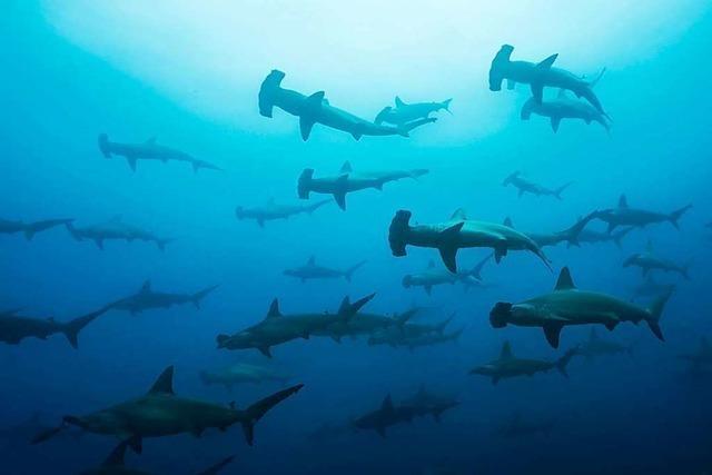 Vor Galapagos gibt es viele Haie – und die sind in Gefahr