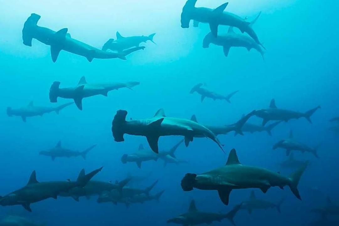 Vor Galapagos gibt es eine die größte Hai-Konzentration  weltweit.    Foto: Janos  (stock.adobe.com)