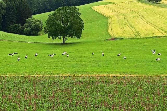 14 Störche in Freiamt