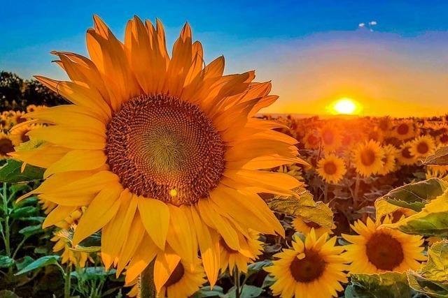 An diesen Sonnenblumen hätte van Gogh seine Freude gehabt