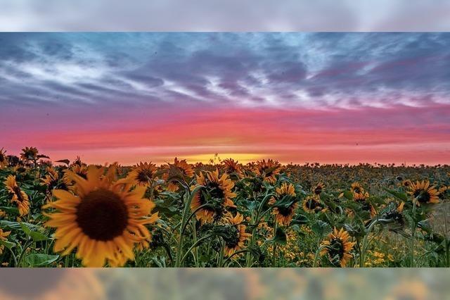 Mehr Sonnenblumen auf den Feldern