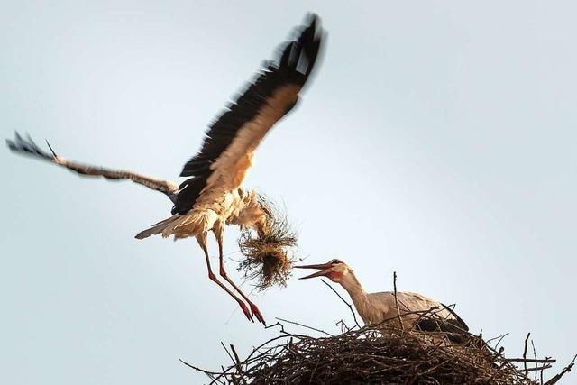 Zwei Störche bereiten das Nest auf der Emmendinger Stadtkirche