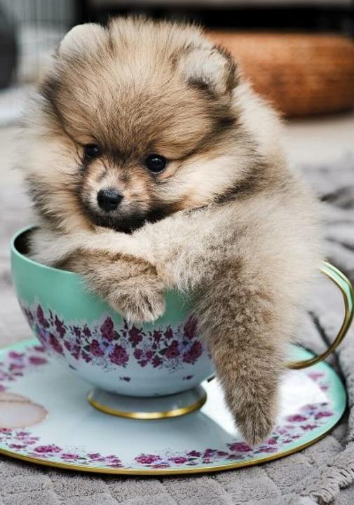 Mit einem Hund haben manche Teacups kaum noch etwas gemein.  | Foto: elvisliivamagi - stock.adobe.com