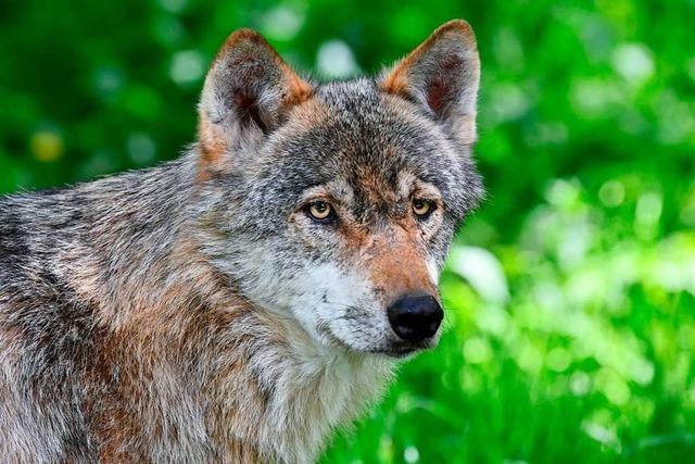 Der Wolf ist im Südschwarzwald heimisch geworden