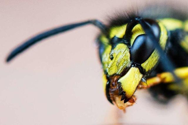 Wespen stechen in diesem Jahr in der Ortenau deutlich häufiger zu