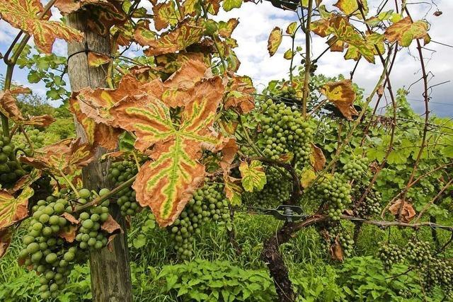 Pilzkrankheit befällt badischen Wein – Reben von Trockenheit gestresst