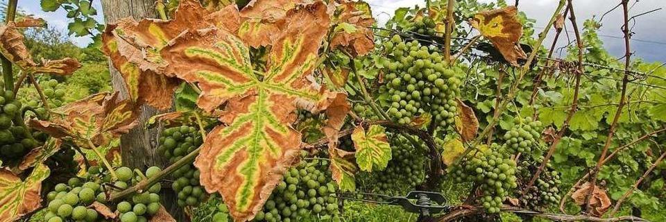 Pilzkrankheit befällt badischen Wein - Reben von Trockenheit gestresst