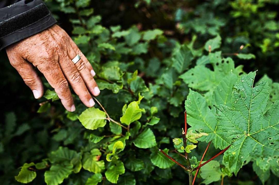 Von Wildtieren, mutmaßlich Rehen, ange...aumsprösslinge  im Müllheimer Eichwald  | Foto: von Ditfurth,Philipp
