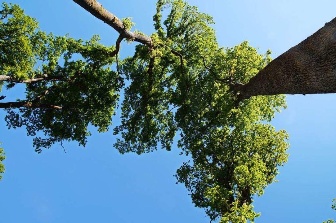 Im Eichwald in Müllheim wachsen die Eichen geradezu in den Himmel.  | Foto: Susanne Ehmann