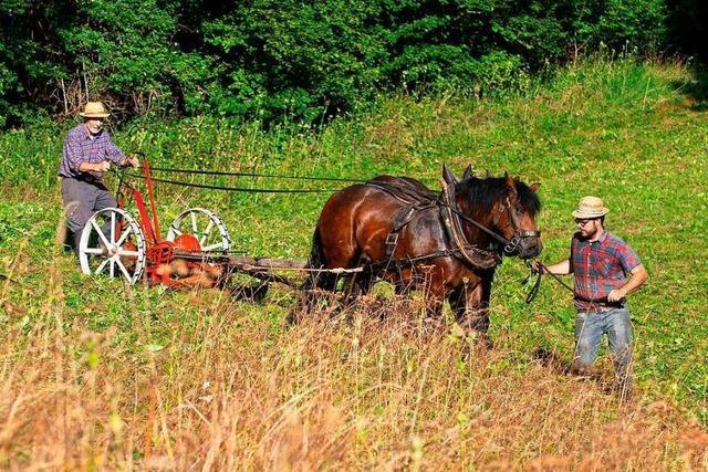 Mähaktion mit Schwarzwälder Pferden in der Wutachschlucht