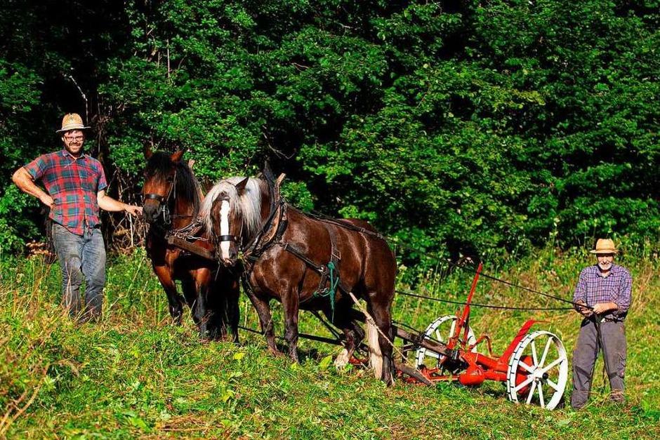 Naturschutz mit zwei Pferdestärken  - Werner und Simon Blattert mähen mit den vierjährigen Schwarzwäldern Anni und Adele in der Wutachschlucht bei Bad Boll. (Foto: Wolfgang Scheu)
