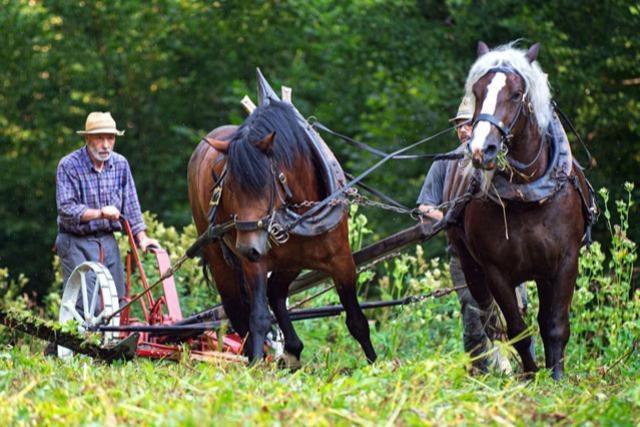 Heuernte wie vor 100 Jahren: In der Wutachschlucht rackern Pferde