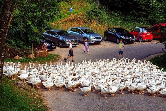 Der tägliche Marsch von 300 Gänsen ist eine Attraktion in St. Ulrich