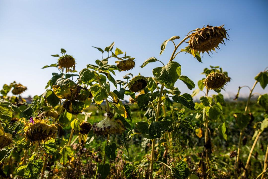 Vertrocknete Sonnenblumen stehen auf e...Krozingen und lassen die Köpfe hängen.  | Foto: Philipp von Ditfurth (dpa)