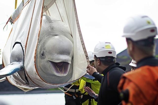 Belugas ziehen in Freilandbecken um