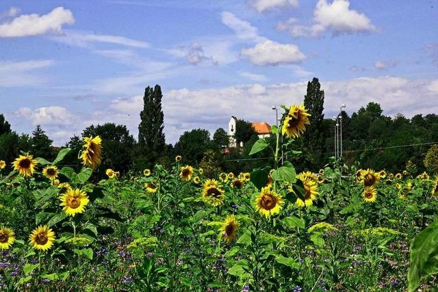Sonnenblumen bei Opfingen