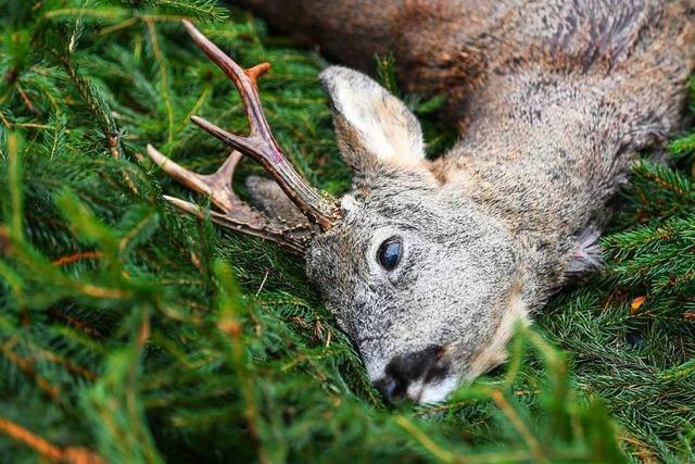 Verdacht der Jagdwilderei: In Zell wurde ein Reh erlegt