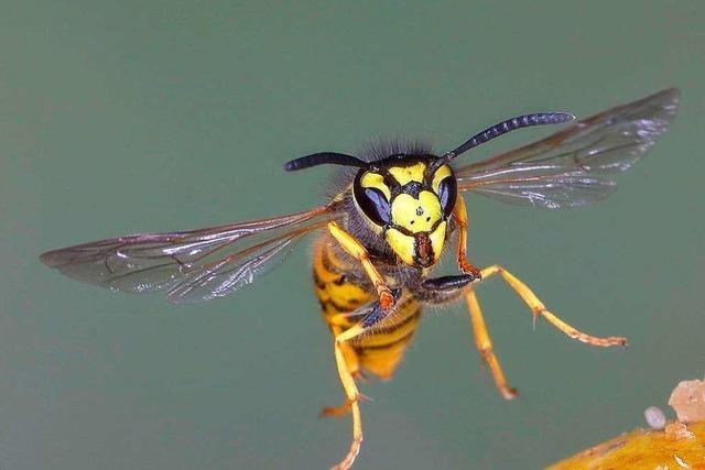 In diesem Jahr gibt es besonders viele Wespen – und sie stechen öfter zu