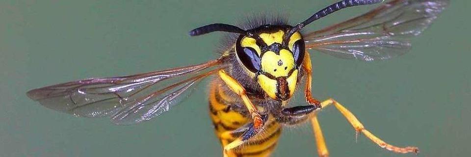 In diesem Jahr gibt es besonders viele Wespen - und sie stechen öfter zu