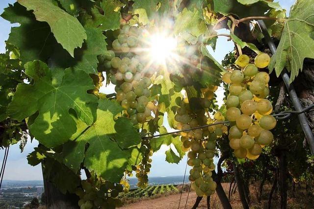 Auch in der Ortenau hat die Weinlese schon begonnen