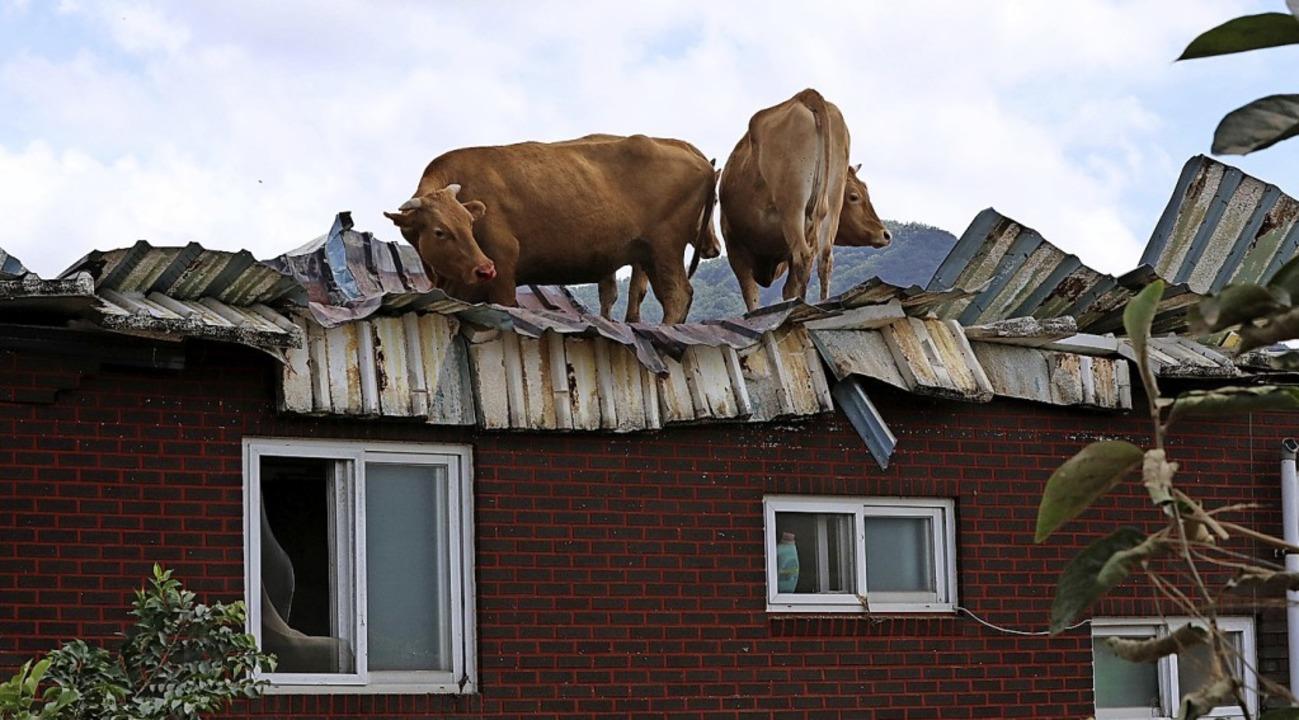 Flucht vor dem Hochwasser: Kühe auf dem Dach eines Stalls in Südkorea.  | Foto: - (dpa)
