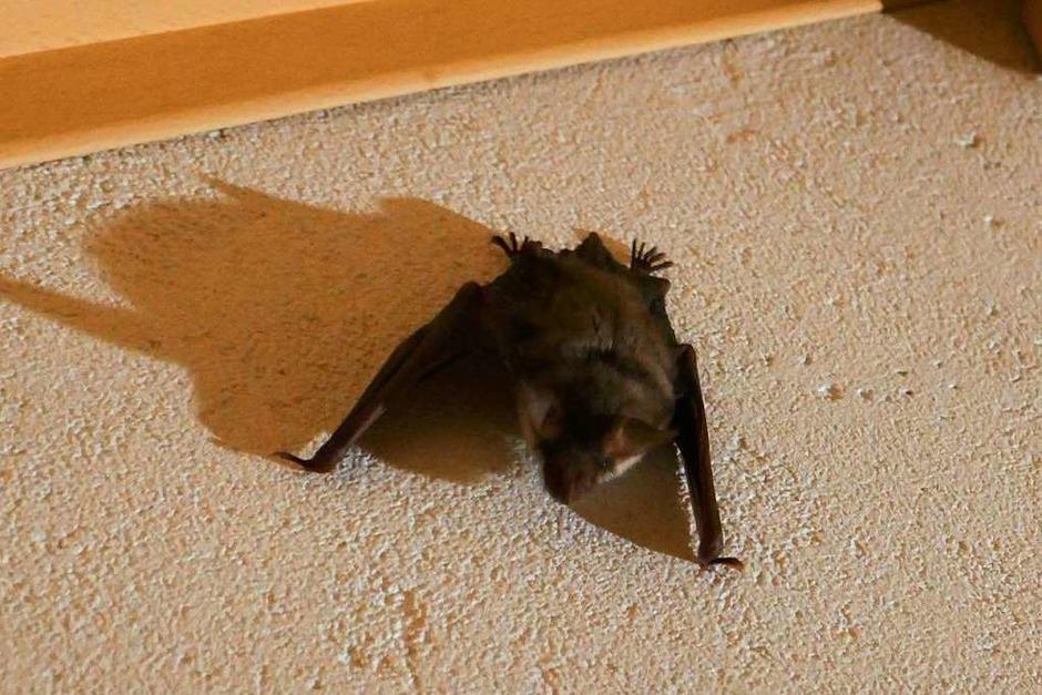 Eine kleine Fledermaus aus der Kolonie im Hauinger Schulhaus hat uns eine Nacht im Schlafzimmer besucht, ist aber bald wieder rausgeflogen. (Foto: Brigitte Steiger)