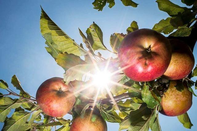 Der Bauhof der Stadt Ettenheim nimmt erneut Äpfel zum Pressen an