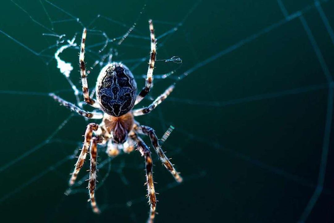 Eine Spinne hängt in ihrem Netz.  | Foto: Hendrik Schmidt (dpa)