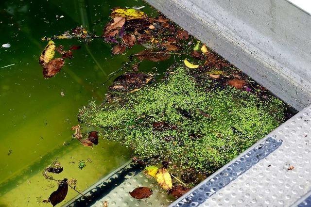 Das Wasser im Lorettobad hat sich in eine grüne Brühe verwandelt