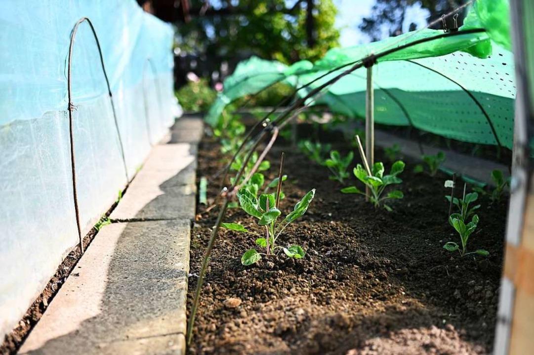 Hier wächst biologisch angebautes Gemüse.    Foto: Jonas hirt