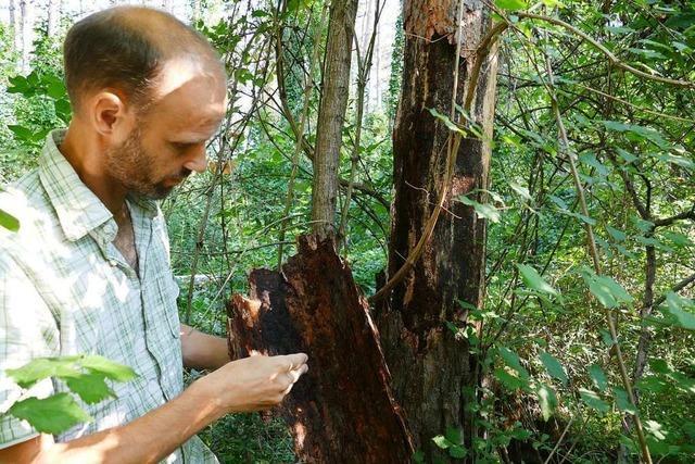 Die Schäden im Breisacher Wald nehmen zu