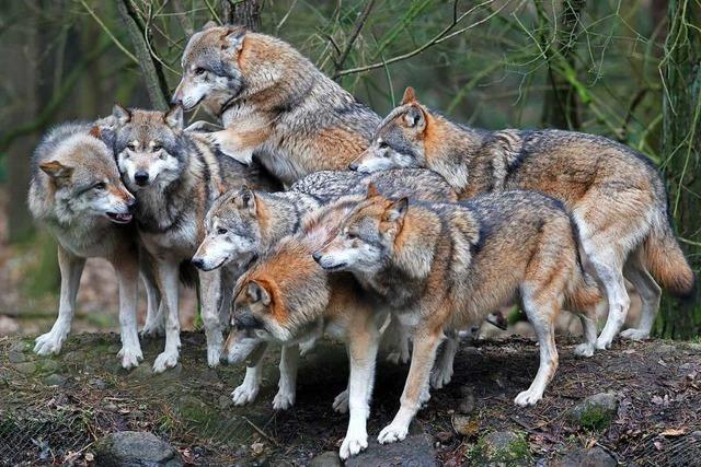 Die Rückkehr des Wolfs wird im Kreis Lörrach mit gemischten Gefühlen betrachtet