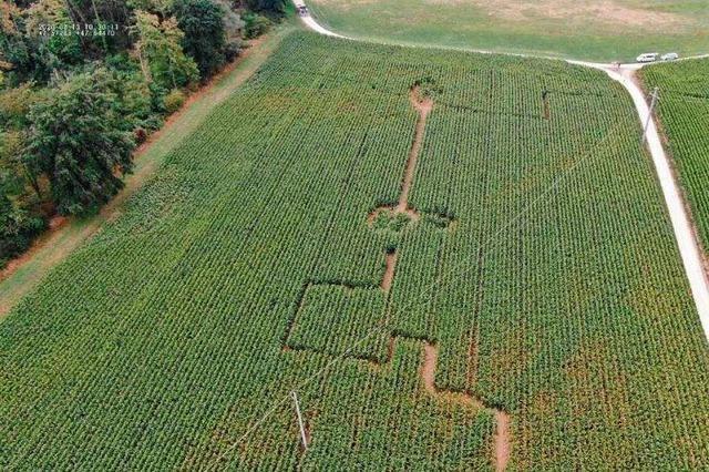 Unbekannte legen ein illegales Labyrinth in einem Maisfeld an