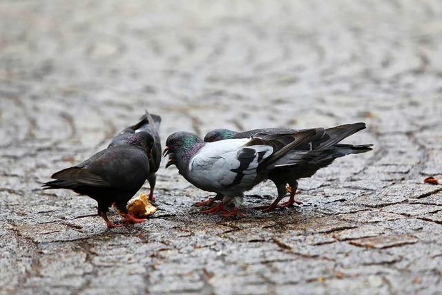 Mahlberg wird vorerst nichts gegen Tauben unternehmen