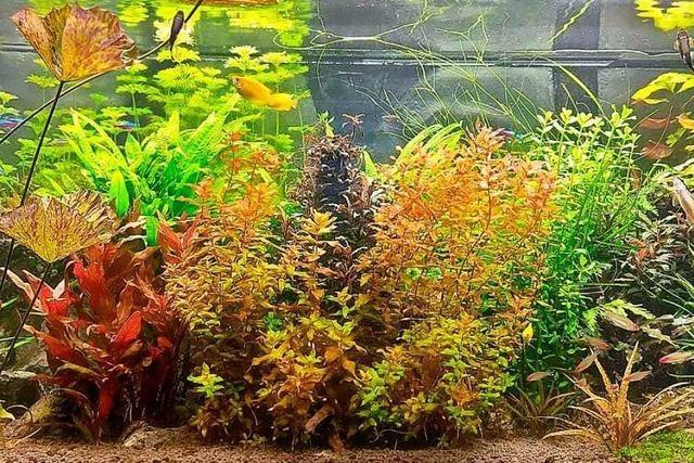 Seit 27 Jahren hält ein Lenzkircher kleine Zierfische im Aquarium
