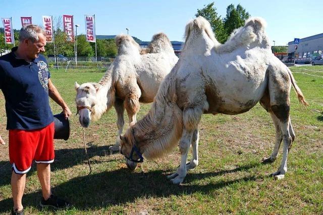 Beim Familienzirkus Kaiser stammen die Kamele aus der eigenen Zucht