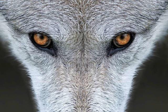 Ein DNA-Test soll aufklären, ob bei Malsburg-Marzell ein Wolf umgeht