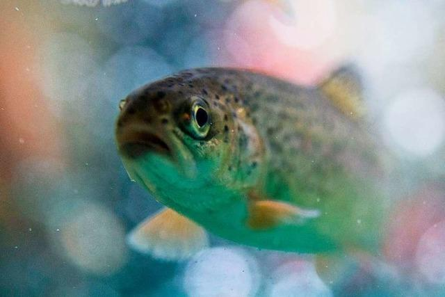 Diese Fische schwimmen in Schwarzwälder Bächen und Seen