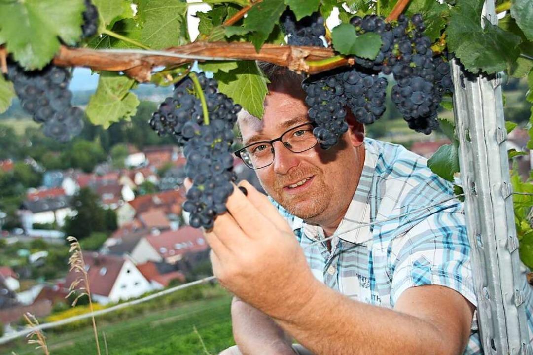 Winzer Stefan Rinklin prüft im Weinber...Bötzingen die Qualität seiner Trauben.    Foto: Mario Schöneberg
