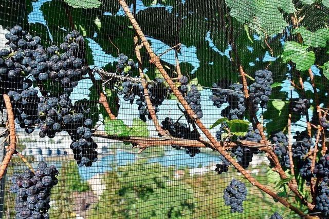 Der Grenzacher Hornfelsenwein verspricht, ein guter Jahrgang zu werden