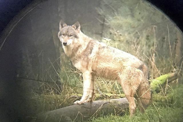 Landwirte sehen sich durch Wolf bedroht