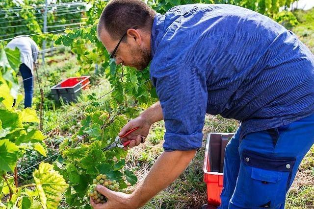Winzer im südlichen Breisgau verkaufen mehr Wein an Privatleute