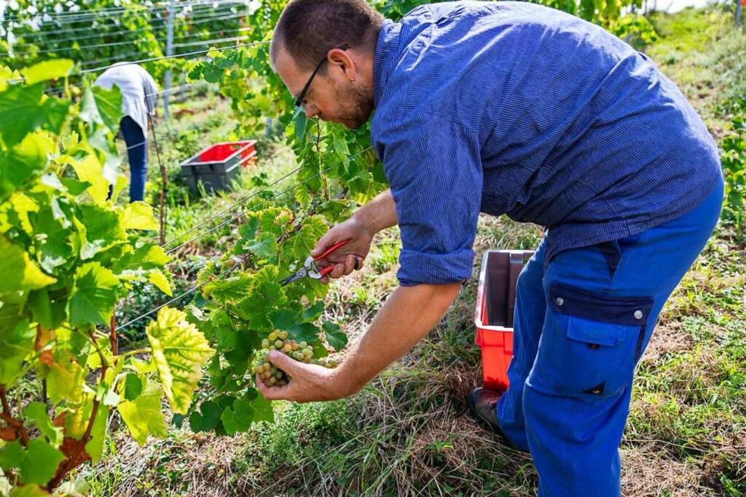 Muscaris-Trauben   hat in Ebringen am ...rundwein, der für Sekt verwendet wird.  | Foto: Hubert Gemmert