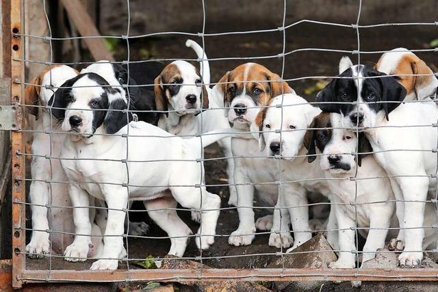Fast 70 Hundewelpen aus Zuchtbetrieb beschlagnahmt