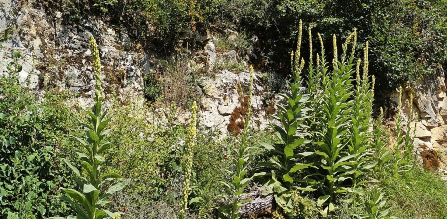 Königskerzen können bis zu zwei Meter hoch werden.  | Foto: Silke Hartenstein